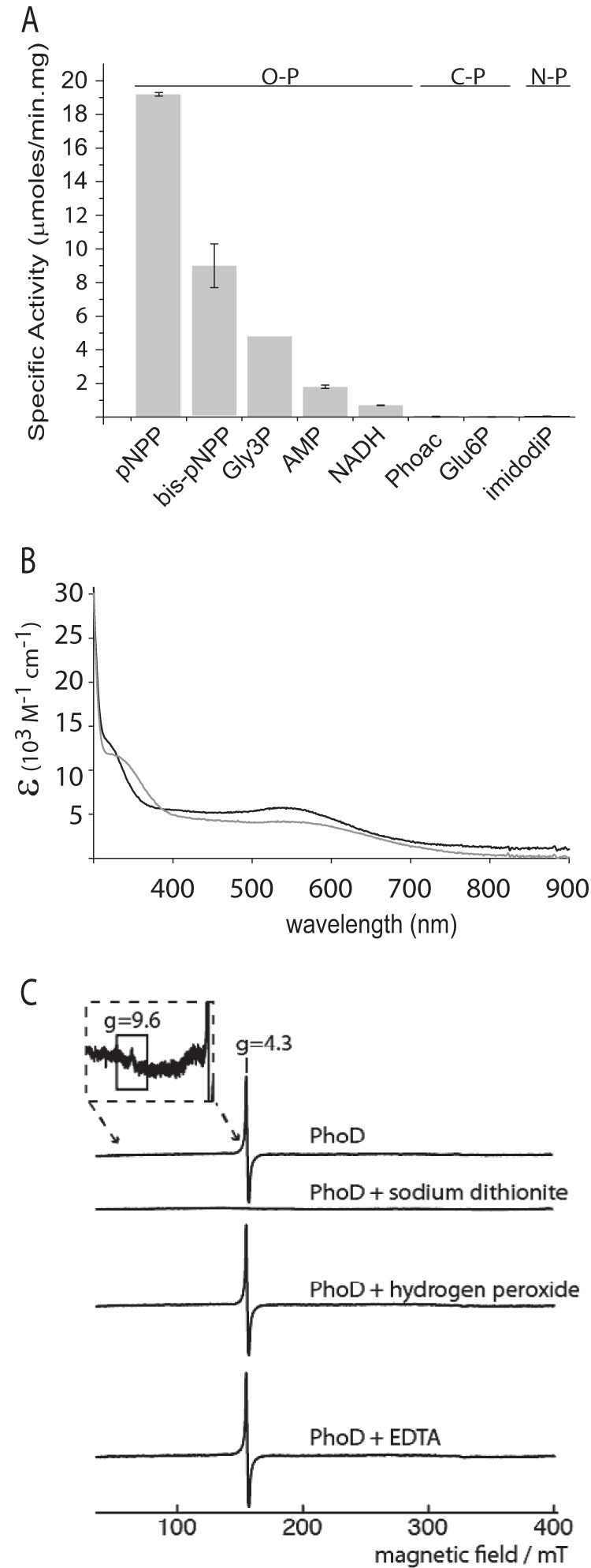 Characterization of recombinant B. subtilis PhoD. A , phosphate released from different substrates by PhoD. The assays contained 1 μg/ml PhoD and 1 m m of the test substrate in 100 m m Tris, pH 8.0, 2 m m CaCl 2 . Gly3P is glycerol 3-phosphate; Phoac is phosphonoacetic acid; Glu6P is glucose 6-phosphate; imidodiP is imidodiphosphate. Substrates are grouped according to whether the target bond is between phosphorus and oxygen (O–P), phosphorus and carbon (C–P), or phosphorus and nitrogen (N–P). Error bars indicate the S.D. of three independent experiments. B , visible absorption spectrum of 2.3 mg/ml PhoD in 20 m m Hepes NaOH, pH 7.4, 200 m m NaCl, 1 m m CaCl 2 in the absence ( black ) or presence (gray) of 10 m m Na 2 EGTA. C , EPR spectra of PhoD highlighting the g = 4.3 peak. Spectra are shown for native PhoD, PhoD with 5 m m sodium dithionite, PhoD with 2 m m hydrogen peroxide, and PhoD with 50 m m EDTA. The inset shows a magnified part of the spectrum around g = 9.6. The PhoD concentration was 10 mg/ml in 20 m m Hepes, pH 7.5, 400 m m NaCl, 2 m m calcium acetate with 20% (v/v) glycerol added. A control experiment showed that the glycerol added to the samples did not change the spectral line shape (data not shown). EPR operating conditions: microwave power, 2 milliwatts; microwave frequency, 9.425 GHz; modulation, 5.0 G at 100 kHz; temperature, 10 K. Spectra are buffer-subtracted, with negative controls taken for sodium dithionite, hydrogen peroxide, and EDTA solutions.