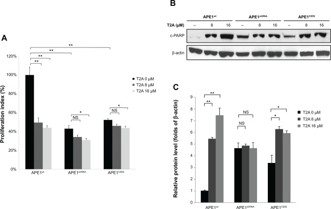Effect of APE1 knockdown or its redox mutation on the T2A activities in cell growth. Notes: ( A ) APE1 wt , APE1 shRNA , and APE1 C65S cells were treated with T2A at indicated dose for 48 hours, respectively. Proliferation was assessed by MTT assay. ( B ) APE1 wt , APE1 shRNA , and APE1 C65S cells were treated with T2A at indicated dose for 24 hours, respectively. Protein level of cleaved PARP (c-PARP) was assessed by Western blot assay. ( C ) Quantification of c-PARP protein level by densitometry after normalization to β-actin. Each point represents the mean ± standard deviation of three experiments. * P