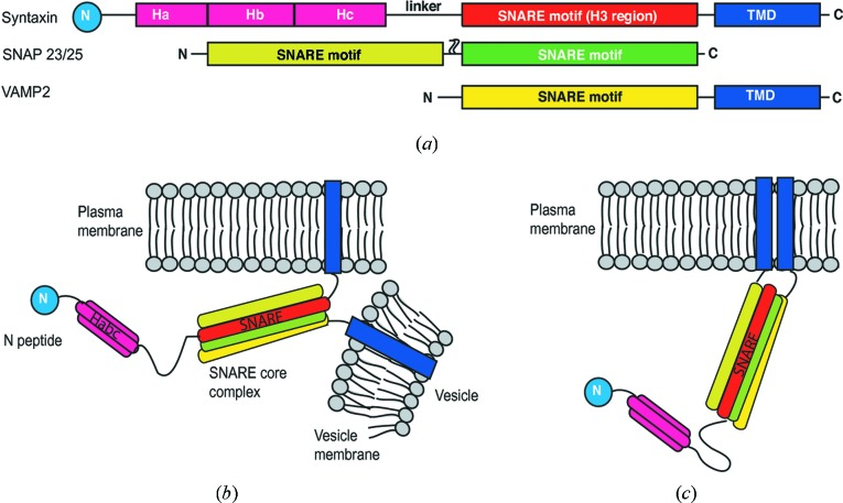 SNARE proteins involved in membrane fusion. ( a ) Domain arrangements of the SNARE proteins: <t>syntaxin,</t> SNAP23/25 and VAMP2 (TMD, transmembrane domain); ( b ) trans -SNARE-complex formation through interaction of SNARE motifs on t-SNARE proteins (syntaxin and SNAP on the target membrane) with the SNARE motif of the v-SNARE protein (VAMP2) on the vesicle membrane; ( c ) cis -SNARE complex with the TMD of syntaxin and VAMP2 on the same membrane. The blue circle labeled 'N' is the N-peptide. Palmitoylation anchors for SNAP23/25 are not shown in panels ( b ) and ( c ).