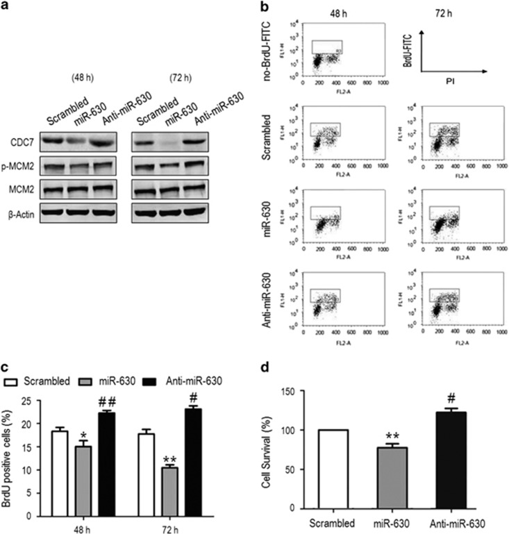 MiR-630 inhibits cell proliferation by inhibiting CDC7-mediated DNA synthesis. A549 cells were transfected with scrambled small interfering RNA (siRNA) (control), miR-630 mimic and miR-630 inhibitor for 48 and 72 h. ( a ) Western blotting for CDC7, MCM2 and phospho-MCM2. β -Actin was used as a loading control. ( b ) Flow cytometric analysis of <t>BrdU-positive</t> cells. After 48 and 72 h transfection, cells were labeled with 50 μ M BrdU for 1 h before collection. Samples were stained with anti-BrdU <t>FITC</t> antibody and PI, and analyzed by flow cytometry. BrdU-positive cells were included in the gate region. ( c ) Relative amount of BrdU-positive cells in the gate region compared with total cells in ( b ) experiments. Data are presented as mean±S.D. ( n =3); 48 h: * P =0.0396, ## P =0.0054; 72 h: ** P =0.0037, # P =0.0171. ( d ) MTS assay showed the survival of A549 cells transfected with miR-630 mimic or inhibitor for 48 h. Data are presented as mean±S.D. ( n =3); ** P =0.0026 and # P =0.0223