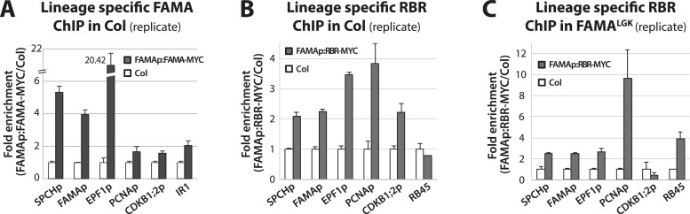 Biological replicates for ChIP experiments in Figure 5 . ChIP assays were performed with FAMAp:FAMA-MYC in Col ( A ), FAMAp:RBR-MYC in Col ( B ), and FAMAp:RBR-MYC in FAMA LGK plants ( C ) using an anti-Myc antibody as in ( Lau et al., 2014 ). ChIPed DNA was quantified by qPCR with primers specific to the indicated gene promoters or the negative control region, IR1 or RB45 ( Cruz-Ramirez et al., 2012 ) and ( Weimer et al., 2012 ). Input-adjusted signals were normalized to Col. Values are means ± SEM. DOI: http://dx.doi.org/10.7554/eLife.03271.015