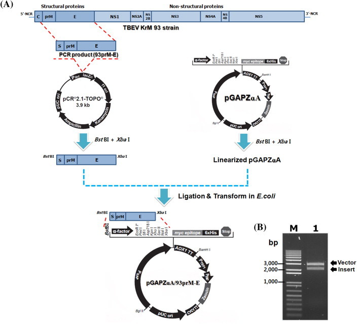 Construction of recombinant plasmid pGAPZɑA/93prM-E. (A) Scheme for cloning the 93prM-E fragment into the pGAPZɑA vector. (B) Confirmation of vector and insert by digestion with the restriction enzymes, Bst BI and Xba I. bp = base pairs, E = envelope protein; Lane M = 1 Kb DNA plus ladder; Lane 1 = pGAPZɑA/93prM-E digested with Bst BI and Xba I; prM = premembrane protein; S = the signal peptide of prM.