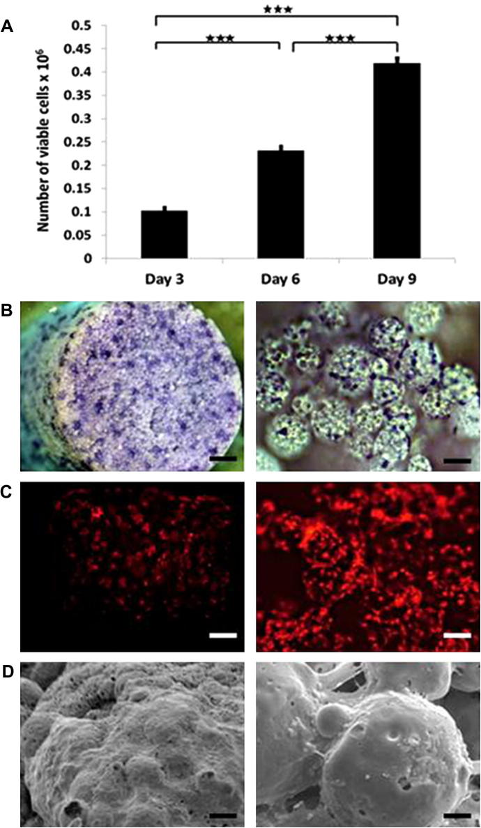 Cell attachment and proliferation on scaffolds. (A) Number of viable 3T3 fibroblast cells measured by the Prestoblue metabolic activity on day 3, 6 and 9 post-seeding. (B) Bright-field microscopy images of <t>toluidine</t> <t>blue</t> stained cell-seeded scaffolds 7 days post-seeding. (C) Fluorescence microscopy images of red fluorescent 3T3 fibroblast cells 14 days post seeding. (D) SEM micrographs of cell-seeded scaffolds 21 days post-seeding.