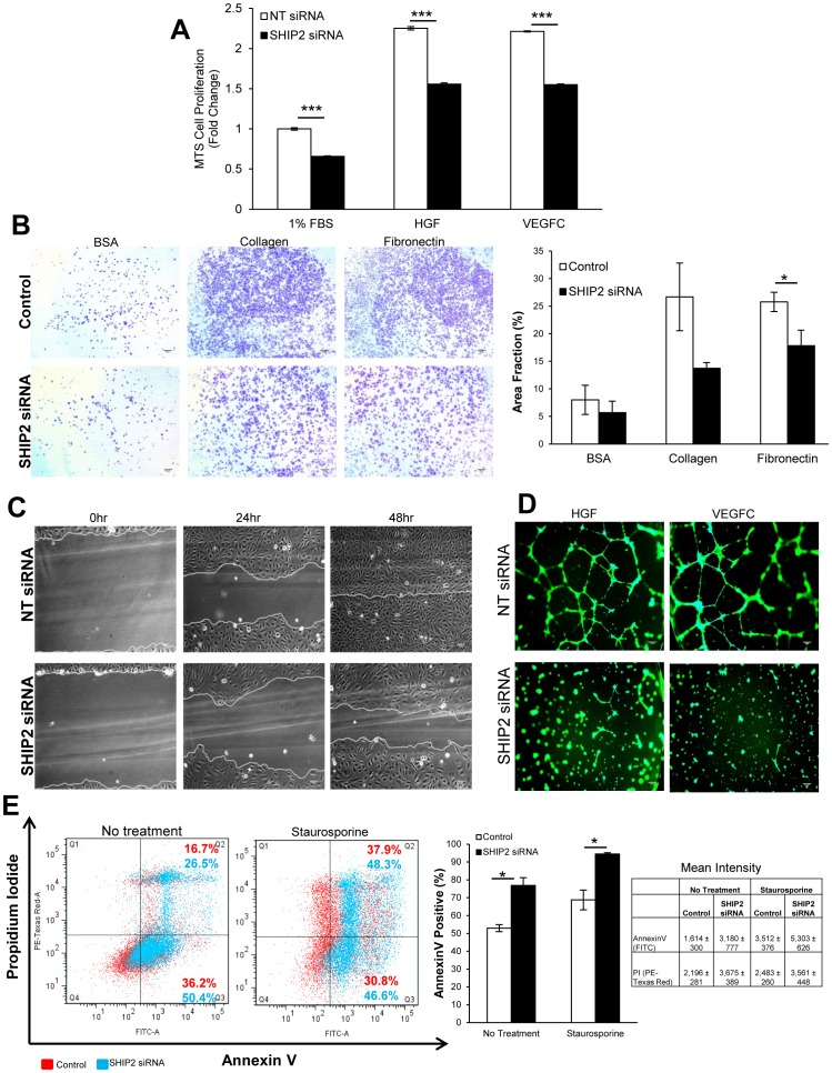 SHIP2 is required for in vitro lymphangiogenesis in primary HDLEC. ( A ) MTS cell proliferation assay in response to growth factor stimulation for 48 hrs, normalized to 1% FBS of non-targeting (NT) siRNA (N = 3). ( B ) Cell adhesion assay of siRNA-transfected HDLEC onto BSA, collagen and fibronectin and quantification presented as area fraction of whole images (triplicates per experiment; 5 independent experiments). ( C ) Wound scratch cell migration assay of siRNA-transfected HDLEC immediately after injury, at 24 hr and 48 hrs afterward. ( D ) 3D tube formation networks in response to growth factors imaged 24 hrs post plating. ( E ) Annexin V apoptosis assay of siRNA-transfected HDLEC either untreated or following staurosporine treatment, quantification of total AnnexinV-positive cell populations and mean intensity of AnnexinV and propidium iodide of 3 independent experiments. Data presented as means±SEM. * p