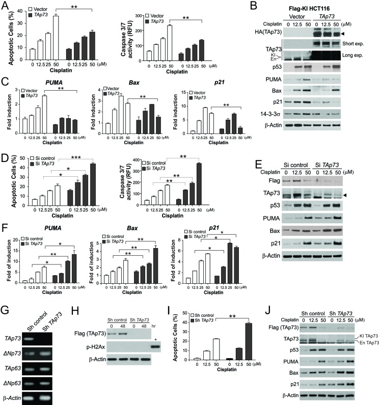 TAp73 suppresses apoptosis and the expression of p53 downstream target genes following extensive DNA damage (A) HCT116 cells with Flag-TAp73 KI were transfected with control or HA-TAp73α construct, and then treated with cisplatin at indicated concentrations for 24 hr. Left , analysis of apoptosis by nuclear staining; Right , analysis of caspase activity. (B) Following treatment as in (A), indicated proteins were analyzed by western blotting. TAp73 blots with short or long exposure (exp.) are presented to show transfected TAp73 and endogenous (En)/knock-in (KI) TAp73, respectively. (C) mRNA expression of PUMA , Bax , and p21 in cells treated as in (A) was analyzed by real-time RT-PCR and normalized to the control β-actin and untreated samples. (D) HCT116 cells with Flag-TAp73 KI were transfected with control or TAp73 siRNA, and treated with cisplatin at indicated concentrations for 24 hr. Left , analysis of apoptosis by nuclear staining; Right , analysis of caspase activity. (E) Following treatment as in (D), indicated proteins were analyzed by western blotting. (F) mRNA expression of PUMA , Bax and p21 in cells treated as in (D) was analyzed by real-time RT-PCR. (G) HCT116 cells with stable transfection of TAp73 or control shRNA were analyzed for the expression of TAp73 , ΔNp73 , TAp63 and ΔNp73 by RT-PCR. (H) HCT116 cells with stable transfection of TAp73 or control shRNA at inoculation (0 hr) or after culturing for 48 hr were analyzed for TAp73 and γH2Ax by western blotting. Lysates from cisplatin-treated HCT116 cells were used as a positive control (+) for γH2Ax. (I) HCT116 cells with stable transfection of TAp73 or control shRNA were treated with cisplatin at indicated concentrations for 24 hr. Apoptosis was analyzed by nuclear staining. (J) Following treatment as in (I), indicated proteins were analyzed by western blotting. Results in (A), (C), (D), (F) and (I) were expressed as means ± s.d. of three independent experiments. *** , P