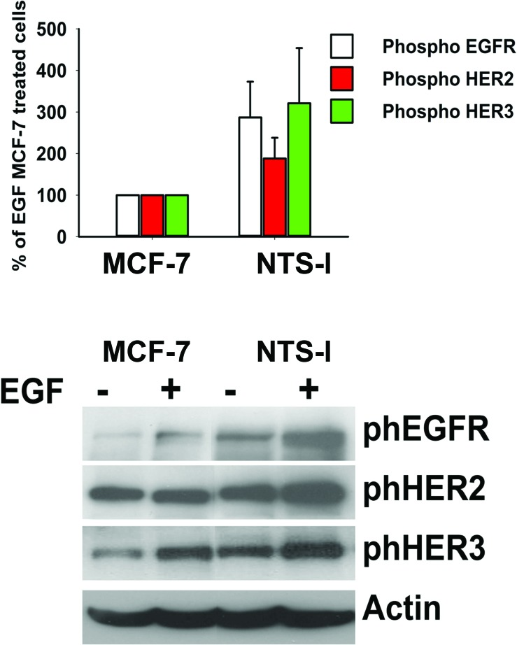 Synergy between NTS and EGF to activate EGFR, HER2, and HER3 (A) Breast cancer cells NTS-l or MCF-7, with the histograms representing intensity- based quantification of Western blot bands of phosphorylated protein, EGFR, HER2, and HER3 treated for 10 min with 10ng/ml EGF. Values are expressed as the percentage of the EGF treated MCF-7 cells and are the mean ± SEM of 5 independent experiments. (B) Representative Western blot analyses of phosphoEGFR, phosphoHER2, phosphoHER3 and actin from MCF-7 and NTS-l cells treated or not with 10ng/ml EFG for 10 min.