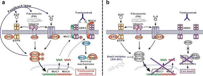 Schematic presentation of the molecular mechanism of trastuzumab resistance mediated by STAT3-dependent feedback loop and corresponding targeting strategy (A) STAT3 is activated through multiple signaling pathways in our model, including SRC-dependent EGF:EGFR:STAT3 signaling, FN:EGFR:STAT3 signaling, and IL-6:JAK2:STAT3 signaling. Activated STAT3 promotes the expression of FN, EGF and IL-6 and therefore constitutes a positive feedback loop to persistently maintain STAT3 signaling, which leads to the upregulation of MUC1 and MUC4 mediating trastuzumab resistance via sustaining HER2 phosphorylation and/or blocking trastuzumab binding. (B) In STAT3 hyperactivation-mediated trastuzumab-resistant cancer cells, STAT3-specific small-molecule inhibitor S3I-201 efficiently inhibits STAT3 activation and consequent expression of MUC1 and MUC4, which recovers trastuzumab sensitivity leading to suppression of HER2 signaling, downstream AKT activity and finally apoptosis in response to trastuzumab treatment.