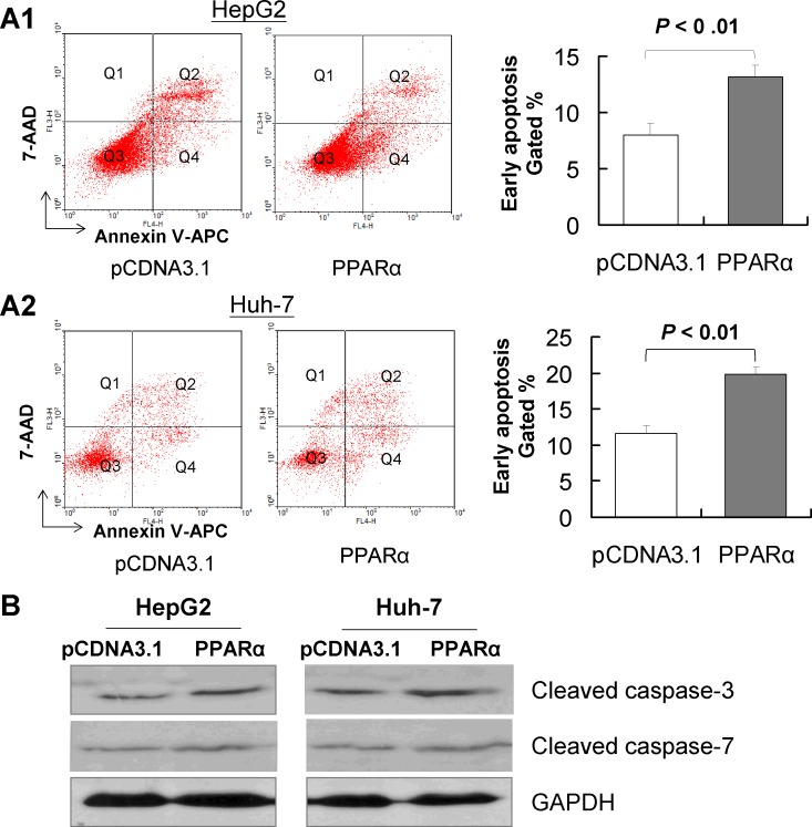 PPARα induces <t>apoptosis</t> of HCC cells in vitro Hep3B and Huh-7 cells were transfected with pcDNA3.1 or PPARα for 48 hours; the effect of PPARα overexpression on apoptosis was determined by FACS and annexin V. Apoptotic cells were significantly increased in PPARα-transfected cells compared with pcDNA3.1-transfected cells, in both HepG2 (A1) and in Huh-7 cell lines (A2). Results are mean ± SD from experiments performed in triplicate. (B) Protein expression of cleaved caspase-3 and cleaved caspase-7 in Hep3B and Huh-7 cells as evaluated by western blot. GAPDH was used as loading control.