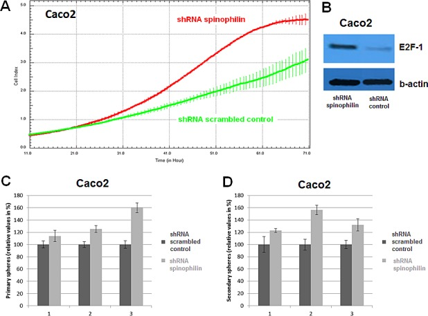 Cellular growth and tumor sphere formation (A) A significant increase in cellular growth of spinophilin-silenced cells (green line) could also be detected in the Caco-2 cell line and (B) increased E2F-1 protein expression. (C-D) A significant increase in primary and secondary tumor spheres under low attachment conditions, which is indicative for increased self-renewal capacity, could be observed in the spinophilin-silenced cells.