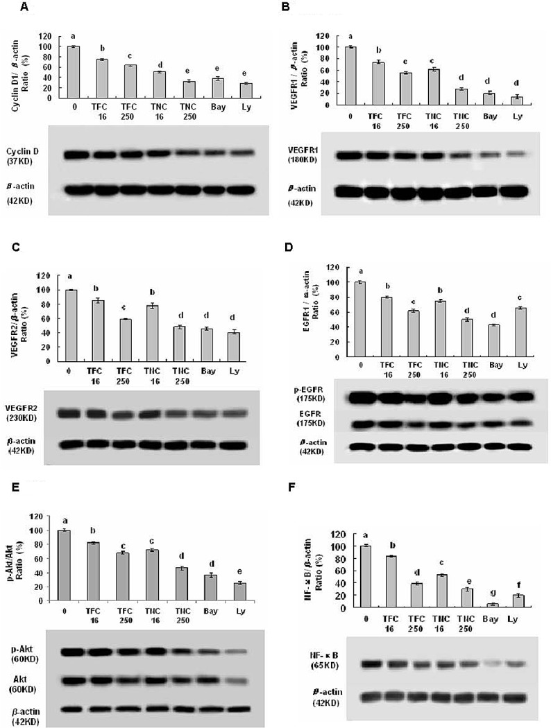Effects of TFC and TNC on protein expressions and/or phosphorylation of cyclin D1 (A), VEGFR1 (B), VEGFR2 (C), pEGFR/EGFR (D), pAkt/Akt (E), and NF-κB (F) in highly metastatic LLC cells The cells were treated for 48 h with the indicated concentrations of TFC and TNC (TFC16/TNC16–TFC250/TNC250: 0.016–0.25 mM), Ly (0.016 mM) and Bay (0.0032 mM). The protein expressions were analyzed by Western Blotting. The optical density (OD) of the band is normalized with respective β-actin and is expressed as relative optical density (OD). The OD value of the band shown as mean ± SD is relative to that of the control (DMSO vehicle) designated as 100%. Bay and Ly are the inhibitors of NF- κ B and PI3K/Akt, respectively. For one experiment, 3 assays were carried out and only one set of gels is shown. Values with different letters (a–g) differ significantly ( P