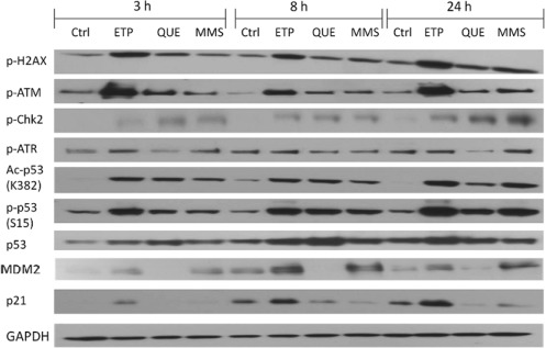 Time course for DNA damage and p53 network response in HT1080 cells following exposure to etoposide, quercetin, or methyl methanesulfonate. Representative Western blots from three separate experiments are shown. HT1080 cells were exposed to 0.1% DMSO (control cells; Ctrl), 1-μM etoposide (ETP), 30-μM quercetin (QUE), or 200-μM methyl methanesulfonate (MMS) for 3, 8, or 24 h. Total cellular protein was isolated and subjected to <t>immunoblot</t> analysis. GAPDH was used as an internal control.