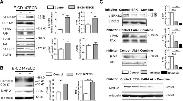 Involvement of ERK, FAK, and PI3K/Akt pathways in upregulation of MMP-2 driven by soluble CD147. SMMC-7721 cells were cultured for 30 min (A) and 12 h (B) with 10 μg/ml of E-CD147ECD. CD147 and MMP-2 data were expressed as means ± SEM of three independent determinations of CD147 or MMP-2/α-tubulin ratio. (C) SMMC-7721 cells were treated with E-CD147ECD (10 μg/ml) for 12 h with or without pre-treatment with ERK inhibitor (U0126), FAK inhibitor (FAK inhibitor 14), PI3K inhibitor (LY294002), or combined inhibitors. In A and C, the expression levels of phospho-ERK1/2, ERK1/2, phospho-FAK, FAK, phospho-Akt, Akt, phospho-EGFR, and EGFR were detected by western blotting. Quantitative analysis of phosphorylated fraction relative to the total fraction was shown. Mean values for control groups were normalized to 1. * P