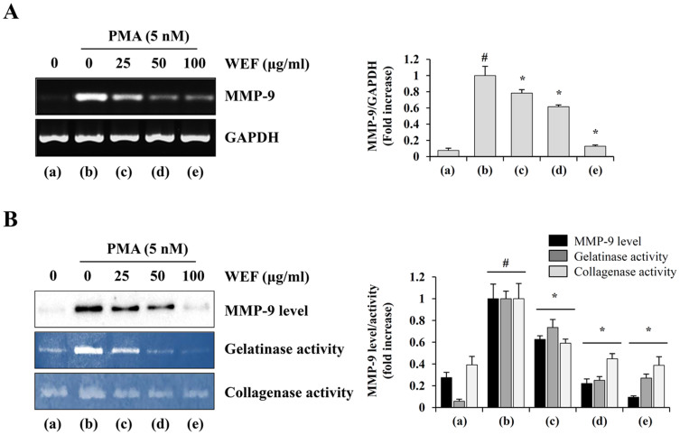 WEF reduces PMA-induced MMP-9 expression and MMP-9 activity. HT1080 cells pretreated with 25, 50, and 100 μg/ml WEF for 12 h in serum-free media were stimulated with 5 nM PMA for additional 24 h. (A): MMP-9 mRNA levels were measured by RT-PCR and relative expression was quantified after normalization to GAPDH. (B): CM were collected and analyzed for the MMP-9 level and MMP-9 activity by Western blotting and zymography, respectively. Gelatin and type I collagen were used as MMP-9 substrates. Data are expressed as the mean ± SD of two independent experiments. The full size blot was shown in the Supplementary Figure S3 and band of interest is indicated with an arrow. #, p