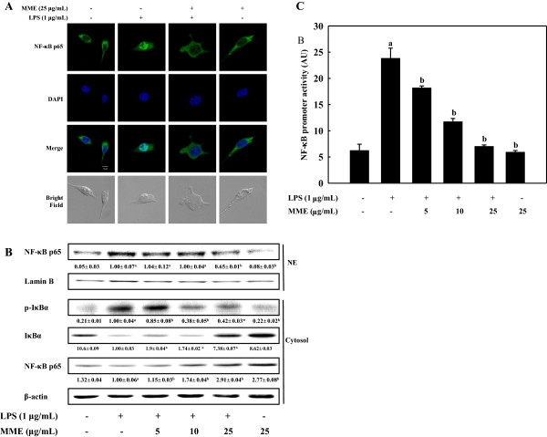 Effect of MME on the translocation and activation of NF-κB in LPS-stimulated BV-2 cells. (A) Cells were treated with and without MME for 2 h followed by LPS stimulation for 30 min. NF-κB/p65 subunits were probed by anti-NF-κB antibody and Alexa Fluor® 488-conjugated secondary antibody. The nuclei were stained by DAPI and the images were captured by confocal microscopy (×40). (B) Cells pretreated with different concentrations of MME for 2 h were stimulated with LPS for 30 min. Cytosolic and nuclear extracts were prepared and analyzed using Western blot by using corresponding antibodies. (C) Cells were co-transfected with 2 μg of NF-κB promoter-containing luciferase DNA along with 40 ng of control pRL-TK DNA for 40 h. Transfected cells were pretreated with various concentrations of MME for 2 h and then stimulated with LPS for 6 h. Cell lysates were prepared and used for reporter gene assay. Data are means ± SDs of three independent experiments. a p