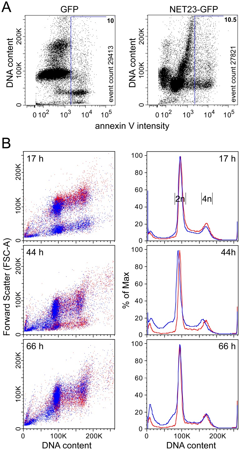 NET23/STING chromatin effects may set the stage for a transitional state between chromatin condensation and apoptosis. ( A ) Cells were taken at 23 h post-transfection and stained for DNA and the characteristic early apoptosis marker annexin V. GFP-transfected cells exhibit a normal distribution pattern with a large annexin V-negative G1 population (close to 100K) and smaller annexin V-negative G2/M population (close to 200K) and a small (∼10%) sub-G1 population that is mostly annexin V-positive. In contrast, at this early time post-transfection the NET23/STING-transfected population yields an aberrant distribution pattern with the main cell populations slightly lower than the normal G1 population, yet still slightly larger than the apoptosing sub-G1 population. This may reflect the process of chromatin condensation. ( B ) To investigate this population further, NET23/STING-transfected cells were analyzed over a timecourse from 17 to 66 h post-transfection. Over time the higher sub-G1 population can be observed to initially increase and then diminish as the smaller sub-G1 population increases. The density plots shown on the left plot DNA content against forward scatter to measure overall cell size/shape and thus likely give information about the shift in chromatin compaction, but these plots can be misleading about total numbers because of spots representing individual cells being printed on top of one another. In contrast, the cell cycle population plots on the right clearly show the total percentage of cells for the initial appearance of a higher sub-G1 population followed by its chasing into an apoptotic smaller/fragmented sub-G1 population.