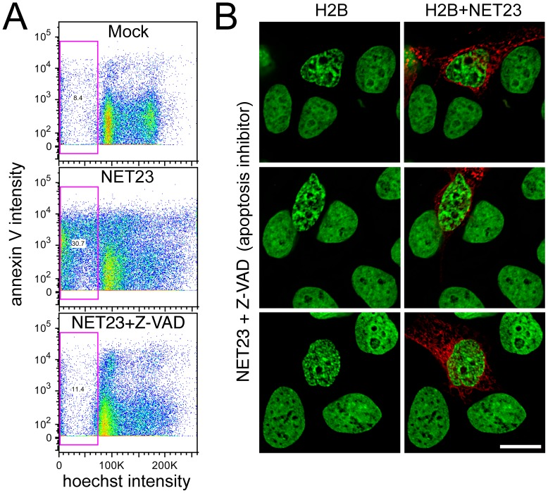 NET23/STING chromatin effects are independent of apoptosis and result in an increase in G2/M. ( A ) Untransfected cells (Mock), NET23-GFP transfected cells, and NET23-GFP transfected HT1080 cells treated with 20 µM of the pan-caspase inhibitor Z-VAD were stained for DNA content with the permeable dye Hoechst 33342 and the characteristic early apoptosis marker annexin V. The total sub-G1 population is gated (pink box) and anything above roughly 10 3 should be positive for annexin V. Both the lower sub-G1 population and most of the annexin V staining of the NET23-GFP population are absent from the Z-VAD treated population. ( B ) HT1080 cells were similarly treated, fixed and stained for DNA for microscopy. Despite the blocking of apoptosis pathways with the pan-caspase inhibitor, the chromatin compaction still occurred in the NET23/STING transfected cells. Scale bars = 10 µm.