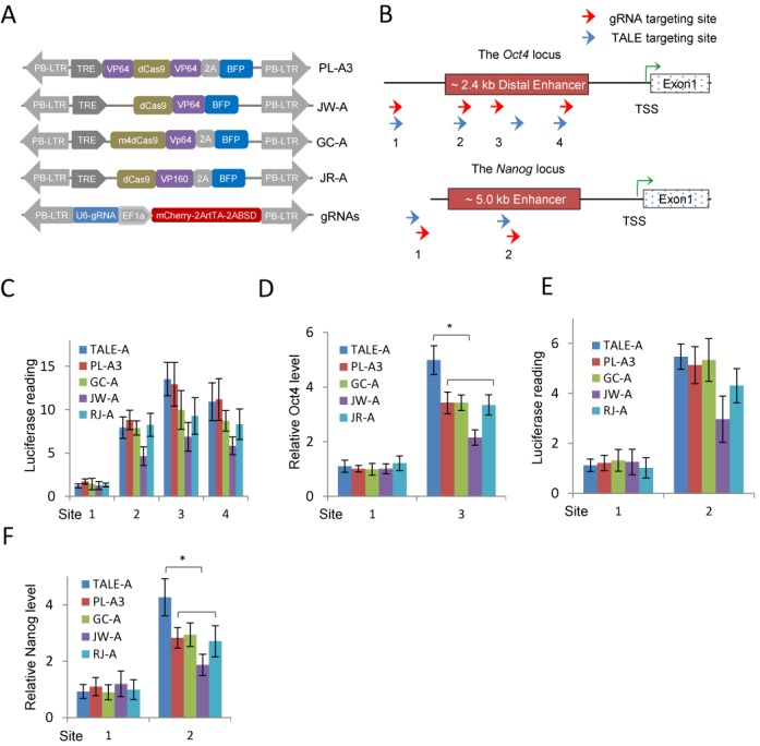 Activation of the mouse Oct4 and Nanog loci by TALE-As and dCas9-As/gRNAs. ( A ) Schematic diagram of the dCas9-As evaluated in this study. In all cases, blue florescent protein (BFP) was used to track the expression of dCas9-As. <t>gRNA</t> expression is controlled by <t>U6</t> promoter, and EF1a-mCherry is used to detect the integration of the vector into the genome. A blasticidin resistance and the reverse tetracycline transactivator (rtTA) cassettes were also linked to the mCherry cassette by T2A peptides. PB-5TR and PB-3TR are the two terminal repeat sequences of the piggyBac (PB) transposon. ( B ) Schematic diagram of the TALE and dCas9/gRNA targeting sites at the mouse Oct4 and Nanog enhancers. Red arrows indicate the gRNA targeting sites and the blue arrows mark the TALE sites. ( C ) Activation of the Oct4 distal enhancer luciferase reporter by the TALE-As and dCas9-As/gRNAs. ( D ) qRT-PCR analysis of the Oct4 mRNA levels in MEFs expressing the TALE-As or dCas9-As/gRNAs. ( E ) Activation of the Nanog enhancer luciferase reporter by the TALE-As and dCas9-As/gRNAs. ( F ) qRT-PCR analysis of the Nanog mRNA levels in EpiSCs expressing the TALE-As or dCas9-As/gRNAs. All gene expression values were normalized to Gapdh . Results were representative of three independent experiments and were presented as ±SD, n = 3. * P