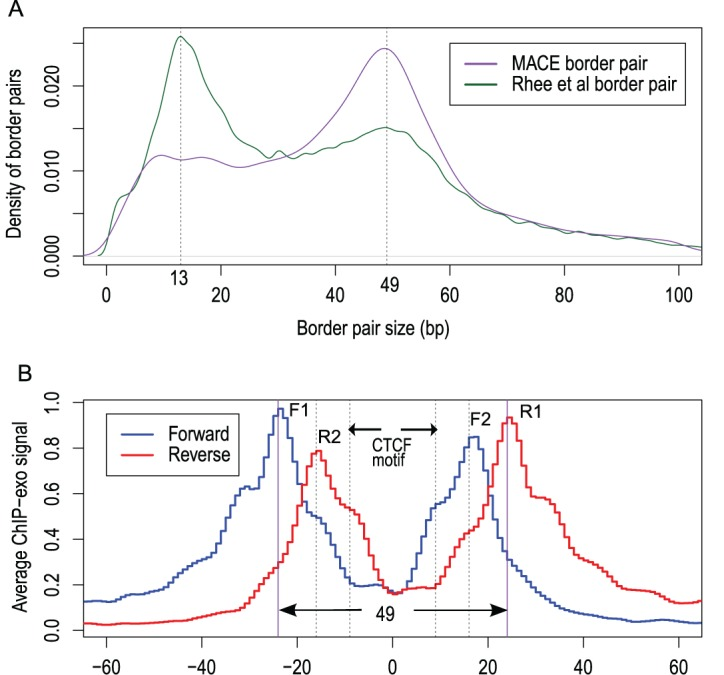( A ) Size distribution of border pairs called by MACE (purple) and by Rhee et al . (2011) (green). MACE border pair had a single mode (centered at 49), whereas border pairs identified by Rhee et al . had bimodal distribution (centered at 13 and 49). ( B ) <t>CTCF</t> <t>ChIP-exo</t> raw sequencing tags density profile around predicted CTCF motifs. The blue and red curve indicates the tag density profile calculated from reads mapped to the forward and reverse strand, respectively. Bimodal patterns were observed for forward and reverse signals.