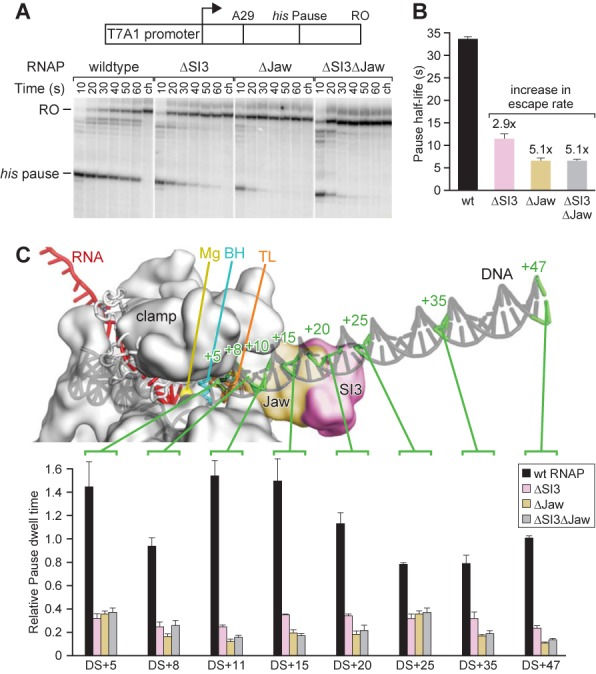 SI3 and the jaw do not modulate the active site through their putative downstream DNA contacts. (A) His pause escape on a promoter-driven his pause template ( 29 ) for wild-type, ΔSI3, Δjaw, and ΔSI3Δjaw RNAPs. Preformed [α- 32 <t>P]-CTP-labeled</t> A29 complexes were incubated with 20 μM GTP, 150 μM ATP, CTP and UTP, together with 50 μg heparin/ml. Position of pause and run-off (RO) transcripts are indicated. Samples were taken at the times indicated (ch, chase). (B) Bar graph showing the average pause half-life values of wild-type, ΔSI3, Δjaw, and ΔSI3Δjaw RNAPs at his pause site derived from the experiment shown in (A) and two additional experiments shown as means ± SD. Numbers above the bars indicate the fold-increase in pause escape rate. (C) Pausing for wild-type, ΔSI3, Δjaw, and ΔSI3Δjaw RNAPs on templates with different amounts of downstream sequence. Top : schematic of paused elongation complex illustrating the progressive downstream-DNA truncations. The RNAP (gray spacefill), DNA (gray) and RNA (red) are shown. Positions of duplex DNA truncations are indicated on the schematic drawing by green lines and numbers indicating the number of base pairs downstream of the pause site, where the pause site with RNAP in pre-translocated register is denoted as the +1 position. Bottom : normalized pause half-lives of wild-type, ΔSI3, Δjaw, and ΔSI3Δjaw RNAPs on truncation templates. The half-life of wild-type RNAP on DS+47 (47 bp of downstream DNA duplex) was normalized to 1 and all other pause half-life values were normalized accordingly. Data are means ± SD of experimental triplicates.