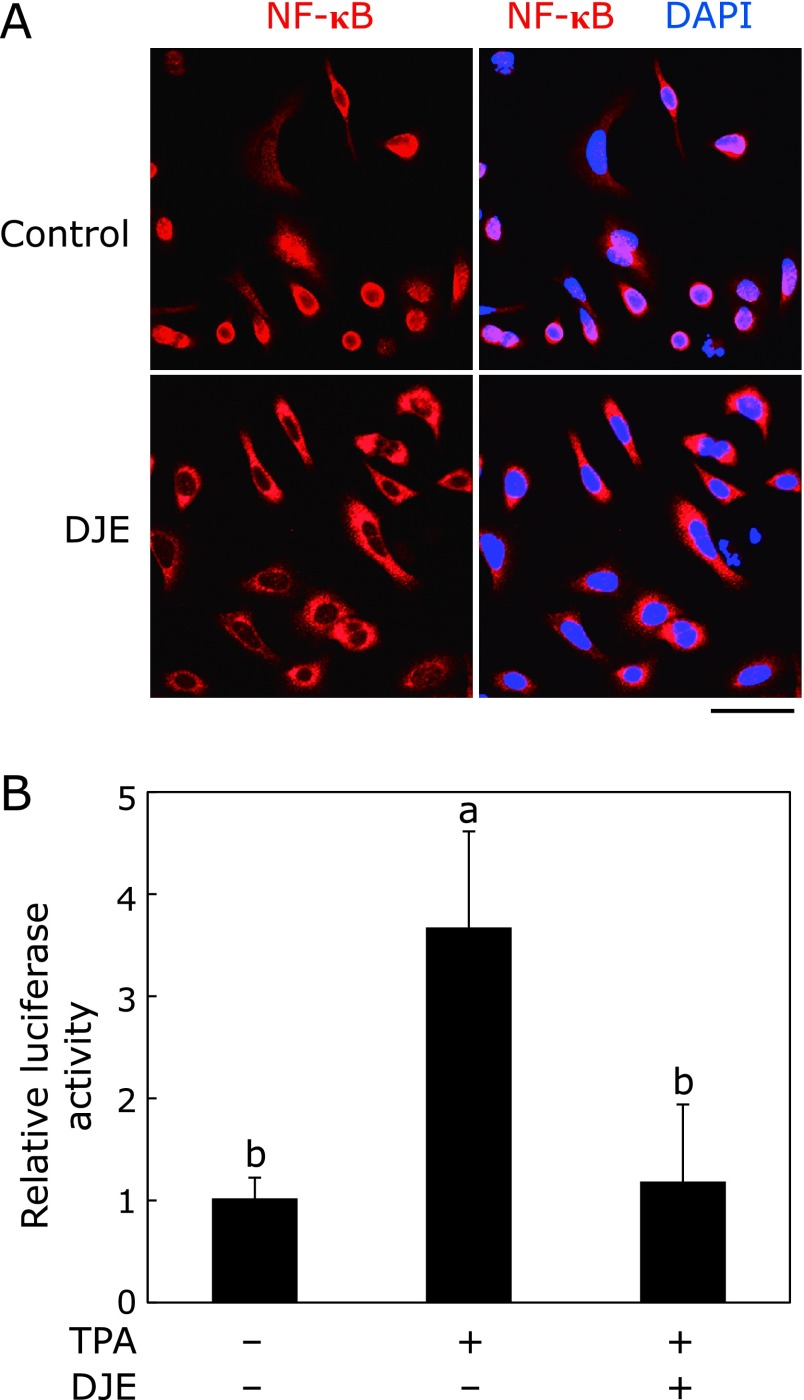 Changes in NF-κB localization (A) and COX-2 promoter activity (B) after DJE treatment in A549 cells. Localization of the transcription factor NF-κB (red) and DAPI (blue, nuclear counterstain) was visualized by confocal laser scanning microscopy (A). Scale bar indicates 50 µm. Cluc reporter plasmid with COX-2 promoter was used for the promoter activity assay, as described in the Materials and Methods section (B). TPA (0.1 M) was used as an inducer of COX-2 expression. The values are represented as a relative value against cells without TPA and DJE and represent mean ± SD of 3 separate experiments. a p
