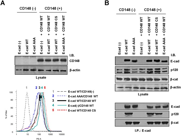Introduction of CD148 forms to A431D and A431D/E-cadherin cells and its effects for E-cadherin and catenin expression and complex formation. A) Wild-type (WT) or catalytically inactive (CS) CD148 was stably introduced to A431D cells lacking classical cadherins [E-cad (−)] or expressing wild-type (WT) or p120-uncoupled mutant (764AAA) E-cadherin. The expression levels of CD148 in these cells were examined by immunoblotting (upper panel) and flow cytometry (lower panel). The loading was assessed by reblotting the membrane for β-actin. B) The levels of E-cadherin, p120, and β-catenin in nearly confluent CD148 stable cells were assessed by immunoblotting, comparing with CD148-negative cells (upper panels). The formation of E-cadherin/catenin complex was assessed by co-immunoprecipitation with E-cadherin (lower panels). Note: The association of E-cadherin with p120 is not observed in A431D/E-cadherin 764 AAA cells.