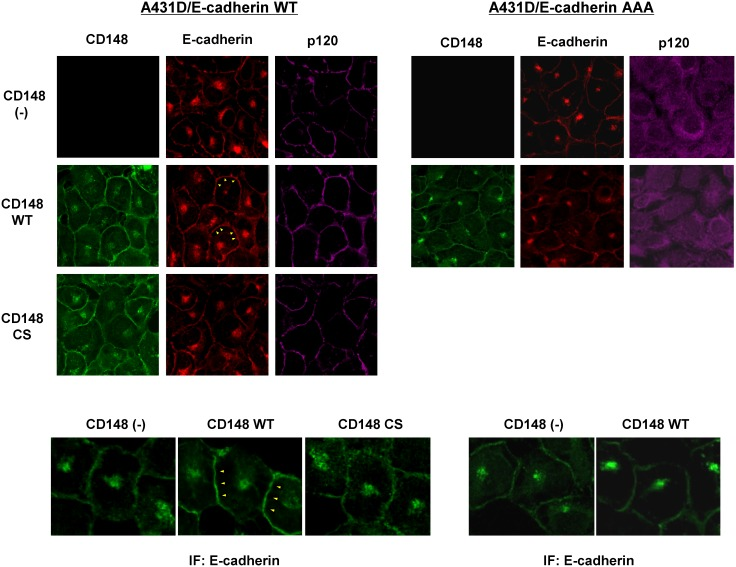Effects of CD148 in E-cadherin distribution. Immunofluorescence localization of CD148 (green), E-cadherin (red), and p120 (purple) were examined in CD148 WT or CS-introduced A431D/E-cadherin WT (left panels) and A431D/E-cadherin 764AAA (right panels) cells and compared with CD148-negative cells. Lower panels show a higher magnification of E-cadherin immunofluorescence. Wild-type E-cadherin is more broadly distributed at cell junctions in CD148 WT-introduced cells (arrowheads in left panels), while the distribution of p120-uncoupled E-cadherin is unaltered by CD148 WT introduction (right panels).