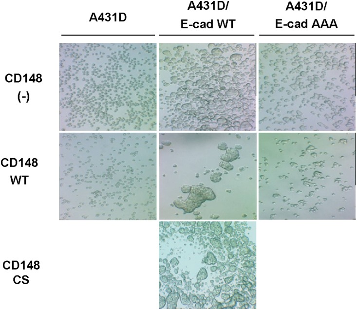 CD148 strengthens cell-cell adhesion in <t>A431D/E-cadherin</t> WT, but not A431D or A431D/E-cadherin 764AAA, cells. Effects of CD148 in cell-cell adhesion were assessed by a hanging drop assay. Images show representative data of ten independent experiments. CD148 WT, but not CS, remarkably increases the cell-cell adhesion in A431D/E-cadherin WT cells, while it shows no effects in A431D or A431D/E-cadherin 764 AAA cells.