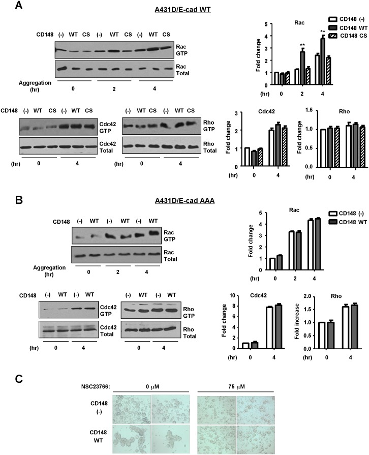 CD148 increases Rac1 activity in the condition of a hanging drop assay. A and B) CD148-introduced or CD148-negative A431D/E-cadherin WT (panel A) and A431D/E-cadherin 764 AAA (panel B) cells were subjected to a hanging drop assay. Rac1, Cdc42, and RhoA activities were assessed at the indicated time points. Active and total levels of Rac1, Cdc42, and RhoA proteins were assessed by pull-down assays and/or immunoblot analysis (left panels). The relative levels of active versus total Rac1, Cdc42, and RhoA were quantified by densitometric analysis (right panels). The data show means ± SEM of quadruplicate determinations. **P