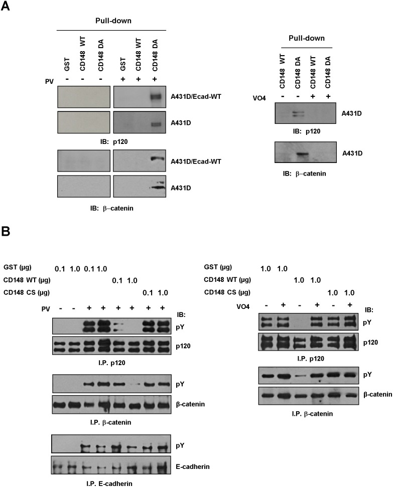 CD148 dephosphorylates p120 and β-catenin in vitro . A) A431D/E-cadherin WT and A431D cells were treated with (+) or without (−) pervandadate (PV) and cell lysates were incubated with GST or GST-CD148 (WT, DA) proteins. GST-protein complex were pulled-down using glutathione beads and the protein interactions were examined by immunoblotting (left panels). Vandadate (VO4) competition was also assessed (right panels). Substrate-trapping (DA), but not WT, form of CD148 binds to p120 and β-catenin in a phosphorylation dependent manner and these interactions are blocked by vanadate (VO4). B) CD148 dephosphorylation of E-cadherin, p120, and β-catenin was assessed in vitro . E-cadherin, p120, and β-catenin were immunoprecipitated from the pervanadate (PV)-treated or untreated A431D/E-cadherin WT cells. The immunoprecipitates were incubated with GST or GST-CD148 proteins and its effects were assessed by immunoblotting with a pY20 phosphotyrosine antibody (pY) (left panels). The amount of protein was assessed by reprobing the membranes with specific antibodies. Vanadate (VO4) competition was also assessed (right panels). CD148 WT, but not CS, dephosphorylates p120 and β-catenin in a dose dependent manner, while its effects for E-cadherin are limited. CD148 dephosphorylation of p120 and β-catenin is blocked by vanadate (VO 4 ).