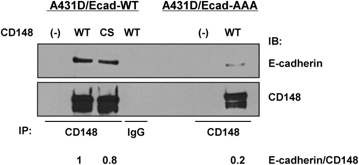 CD148 associates less with p120-uncoupled E-cadherin. CD148 was immunoprecipitated from A431D/E-cadherin WT or A431D/E-cadherin 764 AAA cells. Species-matched IgG was used as a control. The immunocomplexes were immunoblotted for E-cadherin and the amounts of CD148 were assessed by reprobing the membranes with anti-CD148. A ratio of E-cadherin to CD148 was quantified by densitometry. Data are representative of four independent experiments. Both CD148 WT and CS associate with wild-type E-cadherin, while CD148 association with p120-uncoupled E-cadherin is relatively limited.
