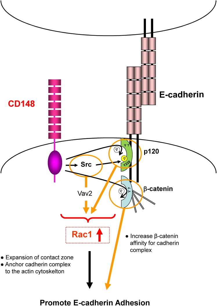 A Hypothetical model depicting CD148 regulation of E-cadherin cell-cell adhesion. CD148 dephosphorylates p120 and β-catenin in E-cadherin contacts. It also dephosphorylates the suppressive tyrosine residue (Y529) in Src, increasing Src activity and possibly enhancing the phosphorylation of Y228 in p120. These signaling events increase Rac1 activity and promote the expansion of contact zones and the stabilization of cadherin complexes, resulting in stronger E-cadherin cell-cell adhesion.