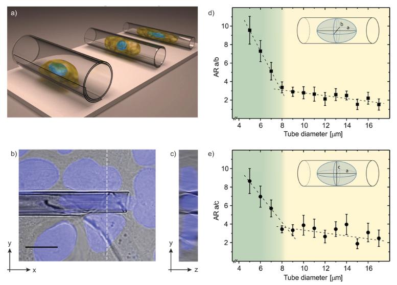 Change of cell and nuclear morphology inside the microtube confinement. a) Schematic depicting the increasing elongation of a single confined cell with decreasing microtube diameter. b,c) Different views (merged bright-field/DAPI fluorescence images) of a U2OS cell that is confined inside a microtube of 6 μm diameter. The image in b) shows the top view, the dotted white line indicates a cut through the z-stack taken at the shown position. The resulting z-stack cross-section is indicated in c). The scale bar equals 10 μm. d) Aspect ratio (AR) of nucleus length a (along the microtube long axis) and width b . The inset schematic visualizes the nuclear dimensions. e) Aspect ratio of nucleus length a and height c . Shown error bars are based on the standard deviation of the respective values. A linear regression of the datasets reveals in both cases 8 μm as the critical tube diameter for a distinct manipulation of the nuclear dimensions b or c, respectively (for the absolute values of the nucleus dimensions please see Figure S1, Supporting Information ).