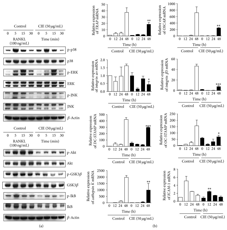 CIE downregulates RANKL-induced early signals and marker genes during osteoclastogenesis. (a) BMMs were pretreated with DMSO (control) or CIE (50 μ g/mL) for 1 h in the presence of M-CSF (30 ng/mL) and were stimulated with RANKL (100 ng/mL) for the indicated times. Whole-cell lysates were used for western blot analysis with the specified antibodies. β -Actin served as the internal control. (b) BMMs were stimulated with RANKL (100 ng/mL) and M-CSF (30 ng/mL) in the presence or absence of CIE (50 μ g/mL) for the indicated times. Total RNA was isolated from cells using QIAzol reagent and the mRNA expression levels of OSCAR, TRAP, integrin α v, β 3, DC-STAMP, OC-STAMP, cathepsin K, and ICAM-1 were evaluated by real-time PCR. * P