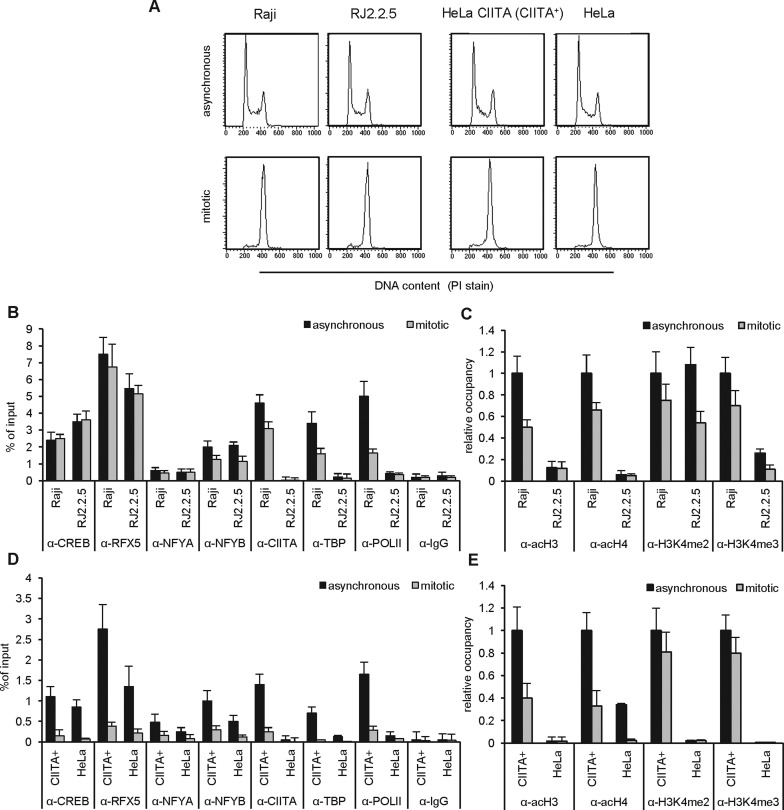 MHCII expression state-related maintenance of the enhanceosome (MCE) and activation-associated histone PTMs in asynchronous or mitotically arrested B lymphoblastoid and epithelial cells. ( A ) Flow cytometric analysis of DNA content upon propidium iodide staining of B lymphoblastoid parental Raji and its CIITA negative derivative RJ2.2.5 cell line (left panels), or epithelial parental HeLa and a CIITA transfectant HeLa (CIITA + ) cell line (right panels), growing asynchronously (upper panels) or mitotically arrested (lower panels) in prometaphase with nocodazole. ( B–E ) Chromatin from the above cell lines was used for ChIP-qPCR analysis with antibodies against <t>CREB,</t> RFX5, NFYA, NFYB, CIITA, TBP, RNA PolII and <t>IgG</t> (B, D) or acetyl-H3, acetyl-H4, H3K4me2, H3K4me3 (C, E) on the DRA promoter. Factor occupancy is expressed as % of input chromatin (B, D) or as relative occupancy of histone H3 or H4 PTMs normalized against total histone H3 or H4 (not shown) respectively (C, E). A value of 1 set for acH3/H3 in asynchronous Raji (C) or HeLa CIITA (E) cells represents 7.5%/0.93% and 11%/4% acH3 and total H3, respectively. Triplicate means and standard deviations are shown.