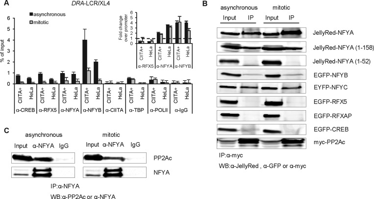 The DRA -LCR/XL4 mediates PP2A recruitment via a direct interaction with NFYA in mitosis. ( A ) DRA -LCR/XL4 factor occupancy using the same chromatin samples, antibodies and primer sets from asynchronous and mitotic HeLa CIITA (CIITA + ) and HeLa cell lines shown in Figure 2 D and E. The inset shows the relative fold change of occupancy of LCR/XL4 over promoter for the indicated factors. Mean and error bars are derived as in Figure 2 B. ( B ) Whole cell extracts of HEK293T cells expressing myc-tagged PP2Ac and the indicated full-length or truncated GFP- or Jelly Red-fusion proteins were used for protein immunoprecipitation experiments using an α-myc antibody. Western blotting was performed using α-JellyRed, α-GFP or α-myc antibodies. Input represents 10% of the lysate used for the immunoprecipitation. ( C ) Whole cell extracts of asynchronous or nocodazole-treated HeLa cells were subjected to immunoprercipitation by α-NFYA and immunoblotted against α-PP2Ac. Shown are the input (5% of immunoprecipitated samples), the normal IgG control and the verification of efficient NFYA immunoprecipitation.
