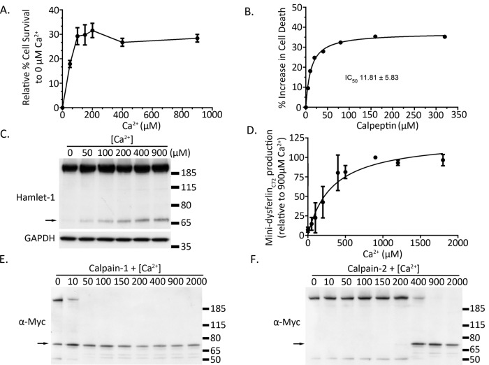 <t>Mini-dysferlin</t> C72 formation requires ∼200 μM extracellular calcium, broadly correlating with the extracellular calcium concentration required for calcium-dependent membrane repair of injured muscle cells. (A) Development of a flow cytometry membrane repair assay reveals 100–200 μM as the activating concentration of extracellular Ca 2+ required for calcium-dependent membrane repair pathways in cultured human muscle cells. (B) Treatment of primary human muscle cells with the calpain inhibitor calpeptin shows dose-dependent inhibition of cell survival, with an IC 50 of 11.8 ± 5.8 μM (a representative dose–response curve is shown; the calculated IC 50 is derived from four independent dose–response curves performed on different days, one with singlet samples at each dose, three in duplicate). C) Representative Western blot of a dose–response curve showing increasing formation of cleaved mini-dysferlin C72 with increasing concentrations of extracellular calcium. (D) Pooled densitometric quantification of levels of cleaved mini-dysferlin C72 from five calcium dose–response curves ( EC 50 of ∼ 250 μM Ca 2+ , 95% confidence interval). (E, F) In vitro digestion of dysferlin-exon 40a with 0.2 A.U. of purified calpain-1 (E) and calpain-2 (F). Mini-dysferlin C72 is indicated with black arrows.