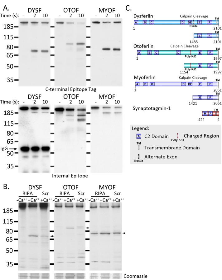 Calpain cleaves otoferlin and myoferlin in addition to dysferlin. (A) Calpain rapidly cleaves immunoprecipitated ferlin proteins in vitro. Dysferlin MycHis , otoferlin MycFlag , and myoferlin MycFlag were immunoprecipitated with anti-myc and protein G–Sepharose (see Materials and Methods ). Dysferlin-bound Sepharose beads were incubated with purified 0.2 A.U. of recombinant calpain-1 at 30°C for 2 or 10 s in the presence of 2 mM CaCl 2. Proteolysis was rapidly inhibited by reconstitution of the reaction in SDS lysis buffer and heating to 94°C. Digested samples were analyzed by SDS–PAGE and Western blot. Top, C-terminal fragments detected with anti-myc (dysferlin) or anti-Flag (myoferlin and otoferlin). Bottom, N-terminal fragments detected by N-terminal (Romeo-dysferlin) or internal antibodies (7D2, myoferlin; C12, otoferlin). (B) Dysferlin and otoferlin display damage-dependent cleavage, whereas myoferlin cleavage appears to be constitutive. HEK293 cells were transfected with dysferlin MycHis , otoferlin MycFlag , and myoferlin MycFlag and lysed in calcium-free RIPA (lane 1), RIPA containing 900 μM calcium (permissive for calpain cleavage), or damaged by scraping in the presence of calcium. Scraped cell pellets were lysed in calcium-free RIPA, and 10 μg of protein was separated by SDS–PAGE and transferred onto PVDF membrane. Dysferlin was detected with anti-Myc; otoferlin and myoferlin were detected with anti-Flag. (C) Diagram of the predicted calpain cleavage sites within dysferlin, otoferlin, and myoferlin (schematic produced using DOG 2.0; Ren et al. , 2009 ). Molecular weight calculation of the cleaved C-terminal modules was used to elucidate the most likely calpain cleavage site ( ccd.biocuckoo.org ). In each case, the C-terminal fragments released by calpain cleavage represent transmembrane-anchored, dual-C2-domain modules.