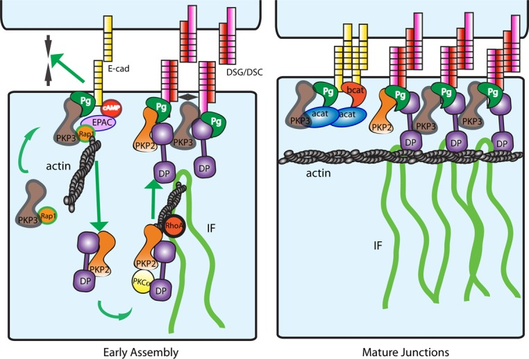Model for the role of Pkp3 in cell–cell junction formation. Left, activation of cAMP pathway upon cell–cell contact in high calcium leads to rapid recruitment of Pkp3-Rap1 complex to E-cad. At the same time, juxtamembrane DP coalesces at the sites of cell–cell contacts, requiring either Pkp2 or Pkp3, forming nascent desmosomes. Functional Pkp3-Rap1-E-cad complex drives adherens junction maturation by pulling the cells closer together and desmosome assembly by signaling the formation of cytoplasmic DP particles. On the other hand, Pkp3 acts as a spacer, preventing the aberrant coalescence of nascent desmosomes at the membrane. Pkp2 harnesses the activity of PKCα and RhoA to facilitate actin-dependent transport of cytoplasmic DP particles to the membrane. Right, model of steady-state adherens and desmosome junctions demonstrating mature cortical actin distribution and correctly sealed adherens junctions in the presence of Pkp3. In the absence of Pkp3 (not shown), Pkp3-Rap1-E-cad complex fails to assemble, leading to immature adherens junctions and failure of DP cytoplasmic particles to form. In addition, aberrant coalescence of nascent desmosomes occurs at the membrane.