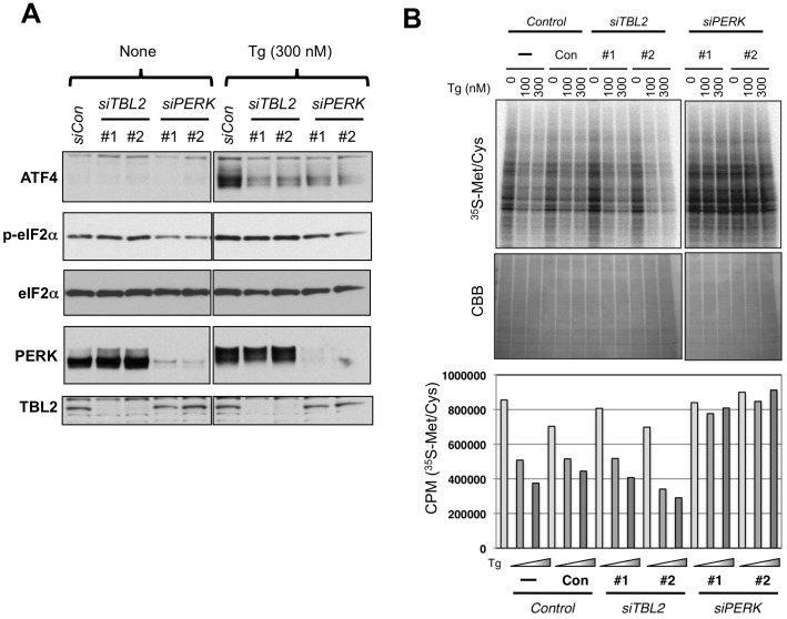 Effects of TBL2 knockdown on the PERK pathway. (A) 293 cells were transiently transfected with non-silencing siRNA, two TBL2 siRNAs (#1, #2) or PERK siRNAs (#1, #2). After 48 h, the cells were treated with 300 nM thapsigargin for 90 min and analyzed by immunoblot anaysis. (B) 293 cells were transiently transfected with non-silencing siRNA, two TBL2 siRNAs (#1, #2) or PERK siRNAs (#1, #2). The protein synthesis rate was measured by incorporating [ 35 S]methionine/cysteine. The pulse labeling was carried out during the last 20 min of the 40-min thapsigargin (Tg) treatment (100 or 300 nM). Upper: autoradiography image of SDS-PAGE. Lower panel: TCA precipitation sample was measured using a scintillation counter.