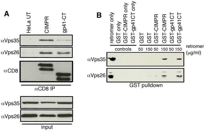 The gp41 cytoplasmic tail binds directly to retromer. A) Native coimmunoprecipitation with anti-CD8 identifies retromer components Vps26 and Vps35 as interacting with the HIV-1 gp41CT. Cell lysates prepared from untransfected (UT), CD8-CIMPR or CD8-gp41CT expressing HeLa cells were incubated with anti-CD8 coated beads and co-IP proteins were subjected to SDS-PAGE and western blotting for Vps35 and Vps26. Untransfected HeLa cells were used as a negative control and CD8-CIMPR as a positive control. B) GST-pulldown confirms direct binding of the gp41CT to retromer. Purified recombinant FLAG-tagged retromer complex (3xFLAG-Vps26-Vps29-Vps35-His 6 ) was incubated with purified GST or GST fusion proteins containing the CIMPR (GST-CIMPR) or Envgp41 (GST-gp41CT) cytoplasmic tail and proteins were pulled down with glutathione-Sepharose 4B beads. Bound retromer components Vps26 and Vps35 were detected by immunoblotting.