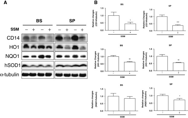 SSM treatment regulates the expression of CD14, HO1, and NQO1 in the brainstems and spinal cords of hSOD1 G93A mice. (A) Representative Western blot showing the expression of CD14, HO1, and NQO1 in the brainstem and spinal cord following the administration of SSM. (B) Quantification of the level of CD14/tubulin, HO1/tubulin, and NQO1/tubulin. The data are presented as the means ± SEM ( N = 4 animals/genotype). Statistical significance was assessed via t -test. *** P