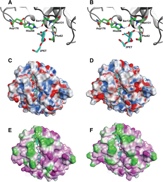 Structural modeling of Tcur1278 and Tcur0390 polyester hydrolases. Homology modeling was performed with the Phyre2 web server (Kelley and Sternberg [ 2009 ]). The catalytic triad of (A) Tcur1278 and (B) Tcur0390 is formed by S130, D176 and H208. The 2PET model substrate was docked using GOLD 5.1 with its central ester bond constrained between 2.7 and 3.1 Å in the oxyanion hole formed by the main chain NH groups of F62 and M131 (broken yellow lines). The hydrogen bonds stabilizing the tetrahedral intermediate formed during the catalytic reaction are shown as broken lines in blue. The backbone structures are shown as gray cartoons. The electrostatic surface properties of Tcur1278 (C) and Tcur0390 (D) are shown with negatively charged residues in red, positively charged residues in blue and neutral residues in white/gray, respectively. The lipophilic surface properties of Tcur1278 (E) and Tcur0390 (F) are shown with hydrophilic residues in pink and hydrophobic residues in bright green, respectively. The docked 2PET model substrate is shown in cyan.