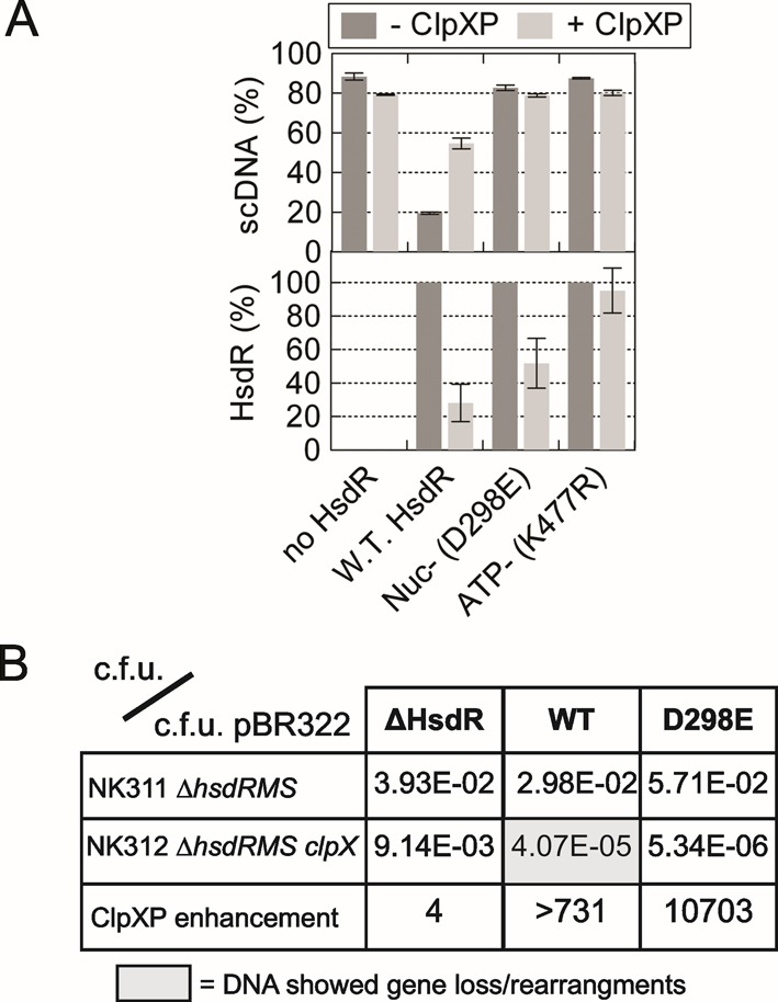 Proteolysis of HsdR is dependent on translocation and not DNA cleavage. ( A ) Quantified data from 60-min reactions on pLKS5 in the presence or absence of ClpXP, and with EcoKI MTase without HsdR, with wild-type HsdR or with HsdRs mutated in either a nuclease (Nuc-) or ATPase (ATP-) motif. Standard deviation error bars from three repeat experiments. ( B ) Transformation screen to measure RA by ClpXP. Colony forming units (c.f.u.) were measured in separate transformation reactions using pBR322 or plasmids carrying the complete EcoKI operon (WT), the genes for the MTase alone (ΔHsdR) or the EcoKI operon with an HsdR mutated within the nuclease domain (D298E). The first two rows show the quotient of the c.f.u. for the EcoKI plasmid and pBR322 in strains with active ClpXP (NK311) or without active ClpXP (NK312). The third row is the quotient of the transformation efficiency in the presence and absence of ClpXP, with elevated values indicating ClpXP-dependent RA. The grey box indicates that plasmid preparations from the successful transformants showed loss of DNA in 100% of cases examined. The smaller DNA could retransform NK312 more efficiently than the original DNA, indicating loss of EcoKI activity.