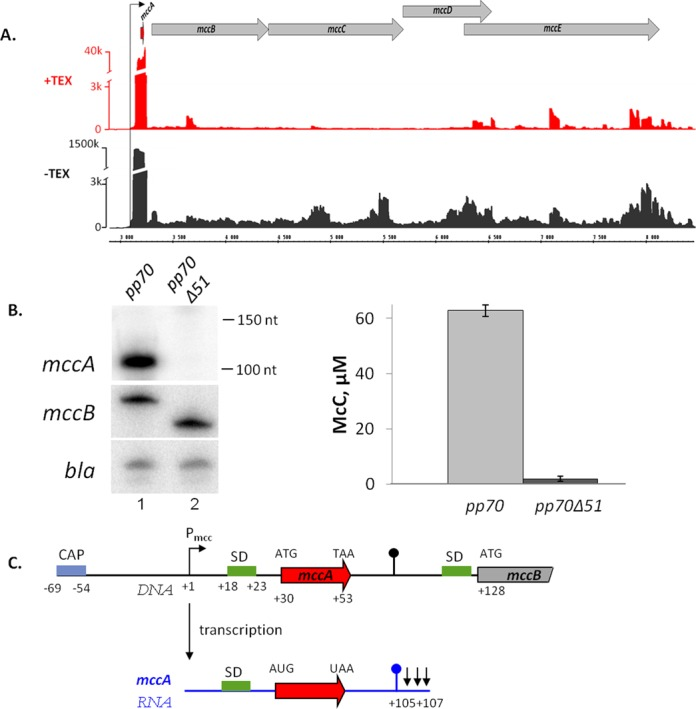 In vivo analysis of the mcc operon transcripts. ( A ) Analysis of the mccABCDE operon of E. coli using differential RNA-Seq. RNA was extracted from E. coli cells harboring the McC-production plasmid pp70 and grown to late exponential phase in LB medium. Half of RNA was treated with Terminator™ 5′-phosphate-dependent exonuclease (TEX) (+TEX), while another half was left untreated (−TEX) and then converted into a cDNA library, which was subjected to high-throughput Illumina sequencing. cDNA sequencing reads were aligned to the mcc operon and visualized as coverage plots representing the number of reads per nucleotide ('k' for thousands of reads) in the IGB (Affymetrix). In the IGB screenshot shown plasmid coordinates are indicated in the middle; gray arrow represent annotated ORFs, black arrow denotes P mcc and the ORF of the small peptide mccA is shown as a red arrow. ( B ) At the left-hand side, results of detection of mcc transcripts in cells harboring the wild-type McC-production plasmid pp70 and its derivative pp70Δ51 harboring a deletion in the mccA–mccB region are shown: top—Northern blotting with an mccA -specific probe. Positions of Decade™ RNA Markers are indicated on the right. Middle—primer extension using a primer annealing at the beginning of the mccB gene. Bottom—primer extension using a primer annealing to plasmid-borne bla gene. At the right-hand side, the levels of McC production by cells harboring the wild-type or mutant McC-production plasmids and used for transcript analysis are shown. ( C ) Summary of mccA transcript mapping. A fragment of the mccABCDE operon DNA (in black) and the short mccA transcript (in blue) are schematically shown, arrows in the end of mccA transcript indicate results of 3′ end mapping by 3′-RACE. SD sequences of mccA and mccB ORFs are shown in green.