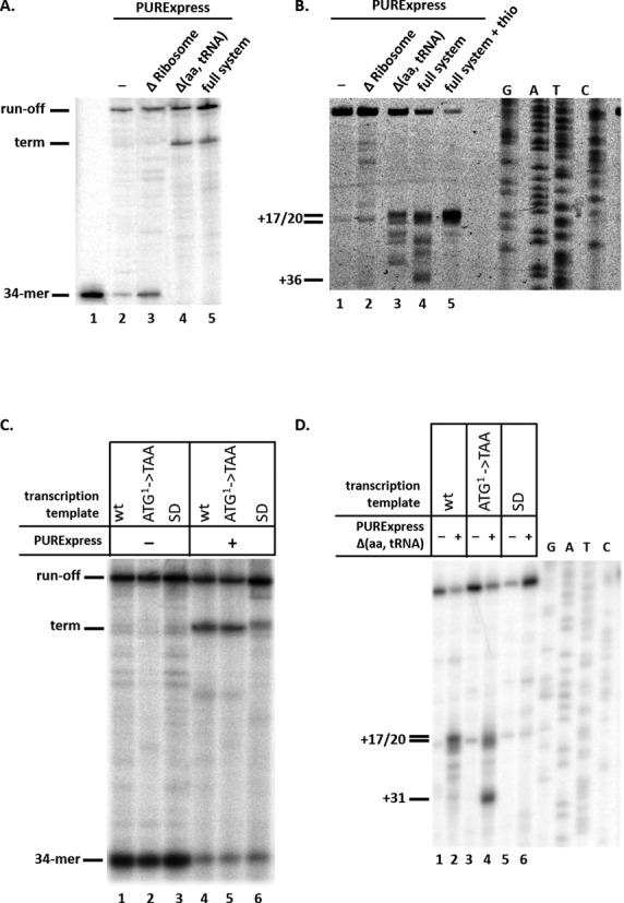Ribosomes stimulate transcription termination in the mccA–mccB intergenic region in vitro . ( A ) Stalled E. coli RNA polymerase transcription elongation complexes containing a 34-nt long radioactively labeled RNA were formed on a DNA template containing the T7 A1 promoter fused to a fragment of mcc operon extending from position +1 to position +154. Transcription elongation was allowed to resume by the addition of NTPs (lane 1), or NTPs with PURExpress ΔRibosome (lane 2), Δ(aa, tRNA) (lane 3) or full system (lane 4). An autoradiograph of a denaturing gel showing reaction product separation is shown. ( B ) In vitro transcribed mccA RNA was combined with PURExpress ΔRibosome (lane 2), Δ(aa, tRNA) (lane 3) or full system (lanes 4 and 5) at conditions identical to those used in panel A experiment, and toeprinting was performed. In lane 5, reaction contained 50 μM thiostrepton. The products of toeprinting reactions were resolved by denaturing gel-electrophoresis and revealed by autoradiography. The 3′ end of the cDNA products synthesized in the toeprint experiment and labeled +17/20 correspond to bound ribosomes with the first (+17) or second (+20) codons of mccA located in the ribosomal P site ( 27 ). ( C ) Transcription complexes were formed as described in A on wild-type or mutant transcription templates with mutated first codon of the mccA gene (ATG 1 - > TAA) or substitutions in the mccA SD sequence and transcription elongation was allowed to proceed. ( D ) In vitro transcribed wild-type mccA RNA or RNAs harboring mccA (ATG 1 - > TAA) or SD sequence substitutions were subjected to toeprinting reaction in the presence or in the absence of PURExpress Δ(aa, tRNA) system. All designations are as in panel B.
