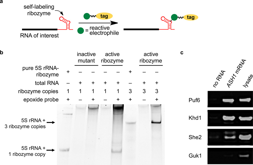 Application of the epoxide-opening catalytic RNA to enrich RNAs of interest from total cellular RNA and to capture RNA-binding proteins ( a ) Transcriptional fusion of a self-labeling catalytic RNA to an RNA of interest may enable selective, covalent RNA modification in a complex biological sample. ( b ) Total RNA from HEK 293T cells was reacted with epoxide-azide 14 , followed by DBCO-TAMRA. Total RNA was analyzed by PAGE and TAMRA-modified RNAs were visualized by fluorescence imaging. Lanes 1 and 6: in vitro transcribed catalytic RNA-fused 5S rRNA containing one or three copies of the catalytic RNA, respectively, rather than cellular RNA. Lanes 2 and 3: the inactive C9-G35 mutant RNA. Lanes 4–8: 5S rRNA fused to one copy (lanes 4–5) or three copies (lanes 6–8) of the active optimized catalytic RNA. Bands at the top of the gel result from incomplete removal of excess DBCO-TAMRA probe or background labeling of cellular rRNAs/mRNAs. The complete gel is shown in Supplementary Figure 14 . ( c ) Western blot probing the presence of three known ASH1 mRNA-binding proteins (Puf6, Khd1, and She2) and one non-binding protein control (Guk1) in yeast cell lysate. Lanes 1 and 2: Lysate incubated overnight with streptavidin-coated magnetic beads only (lane 1) or pre-incubated with 5 µg of epoxide 1 -modified ASH1 -catalytic RNA (lane 2). Unbound proteins were washed away and captured proteins were eluted at 95 °C. Lane 3: Input lysate prior to incubation with beads. The complete gel is shown in Supplementary Figure 15 .