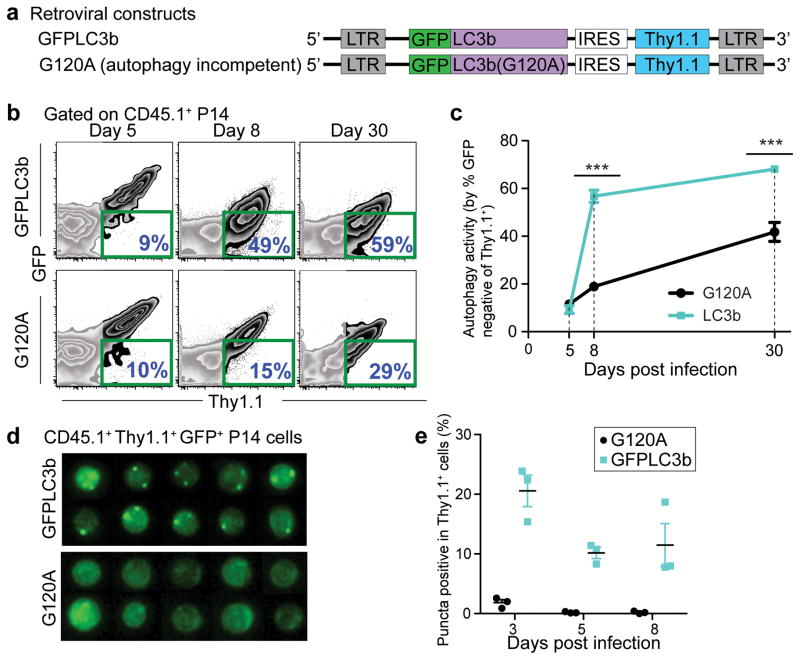 Autophagic flux in virus-specific CD8 T cells is inversely correlated with cell proliferation status. ( a ) MSCV <t>retroviral</t> constructs showing the transgenes (GFP-LC3b and GFP-LC3b-G120A) introduced in P14 cells to probe for autophagy activity. ( b ) Flow cytometry plots of adoptively transferred P14 cells in spleens. P14 cells transduced with retroviral plasmid of either MIT-GFP-LC3b or MIT-G120A are positive for the congenic marker Thy1.1. Day 5, 8 and 30 p.i. splenocytes were used for the analysis. The percentage of GFP-negative cells out of the transduced P14 (Thy1.1 + ) cells from each group is highlighted in blue on the lower right corner of each plot and is summarized in ( c ). ( d ) Representative ImageStream ® data showing images of P14 cells from either GFP-LC3b or G120A groups on day 8 p.i.. Images showing GFP signals of GFP + MIT vector-transduced P14 cells (Ly5.1 + Thy1.1 + ). Summary graph of ImageStream ® analysis is plotted in ( e ) showing percentage of GFP + or Thy1.1 + P14 cells that exhibited more than one GFP punctum. Errors bars represent SEM. ( b ) and ( d ) are representative of three independent experiments, n≥3 mice in each group.