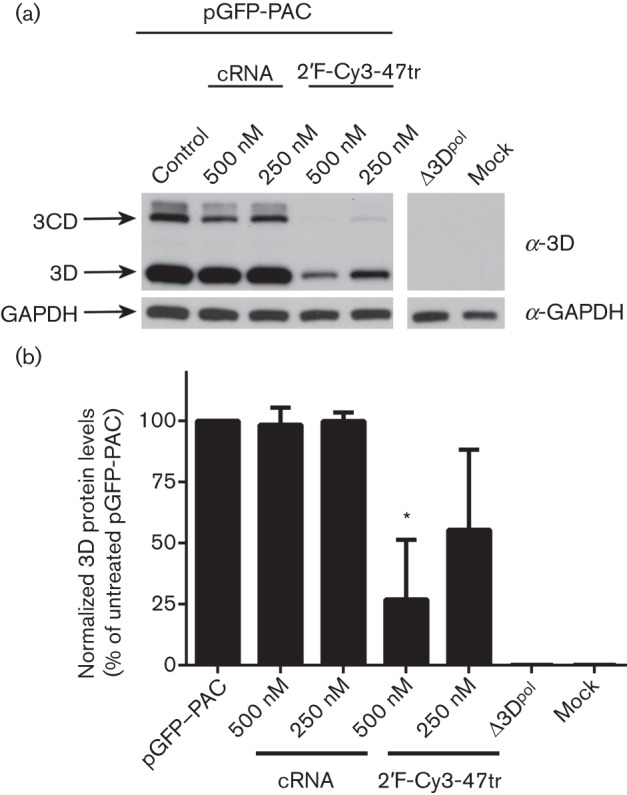 Effect of aptamers on 3D pol expression in BHK-21 cells transfected with pGFP-PAC replicon. Cell extracts were prepared at 4 h post-transfection. (a) Aliquots were analysed by SDS-PAGE and immunoblotting for the presence of FMDV 3D pol and cellular glyceraldehyde 3-phosphate dehydrogenase (GAPDH). Cells transfected with a Δ3D pol replicon (pGFP-PAC-Δ3D), mock-transfected or transfected with cRNA were included as controls. (b) Densitometry was conducted using ImageJ imaging analysis software on triplicate experiments for 3D pol expression, normalized to GAPDH. Data show mean values with sd ( n = 3) and statistical analysis performed using two-tailed paired t -test (* = P
