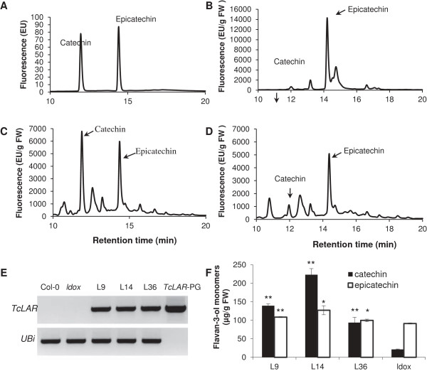 Complementation of the Arabidopsis PA-deficient ldox mutant by constitutively expressing TcLAR . A , Catechin and epicatechin standards analyzed by HPLC. B , HPLC analysis of Col-0 young siliques. C , HPLC analysis of ldox 35S:TcLAR Line14 young siliques. D , HPLC analysis of ldox mutant young siliques. E . TcLAR and AtUbiquitin transcripts in total RNA from leaves of ldox 35S:TcLAR transgenic plants, (line 9, line 14 and line 36), Col-O and ldox muant plants by RT-PCR. PCR products from the TcLAR-PGEM plasmid were loaded on the last lane as a positive control for the TcLAR primer set and as a negative control for the AtUbiquitin primer set. F , Catechin and epicatechin levels in young siliques of plants that were the source of the total RNA used in (E) . Catechin and epicatechin levels were determined by extraction and HPLC analysis. The data are presented as means ± SE, n = 3. *P