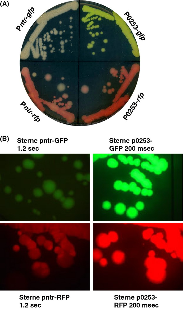 (A) Chromosomally tagged Bacillus anthracis Sterne strains were streaked out on a BHI agar plate. The plate was incubated at 37°C for 24 h and recorded by scanning. The bacteria in each quadrant were Sterne::P ntr - gfp (top left), Sterne::P ntr - rfp (bottom left), Sterne::P0253- gfp (top right), and Sterne::P0253- rfp (bottom right). (B) Fluorescence microscopy of bacteria in each quadrant on the same plate described in (A). Fluorescence images were taken with an exposure time of 1.2 sec for the strains Sterne::P ntr - gfp (top left) and Sterne::P ntr - rfp (bottom left), and with an exposure time of 200 msec for the strains Sterne::P0253- gfp (top right) and Sterne::P0253- rfp (bottom right).